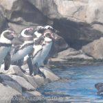 仙台うみの杜水族館ペンギンさん #s_uminomori https://t.co/d23tMx14iZ