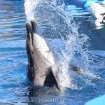 仙台うみの杜水族館、水しぶきを飛ばすイルカさん https://t.co/DFqxuLMmUs
