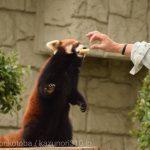 仙台市八木山動物公園、レッサーパンダのご飯 https://t.co/A3lFJB0VcL