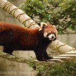 仙台市八木山動物公園、レッサーパンダさん https://t.co/iKCneopWCQ