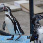 仙台市八木山動物公園、ペンギンさん https://t.co/gBqVJMEP0g