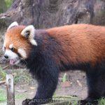 仙台市八木山動物公園、レッサーパンダさん https://t.co/6KknWtMZ6o