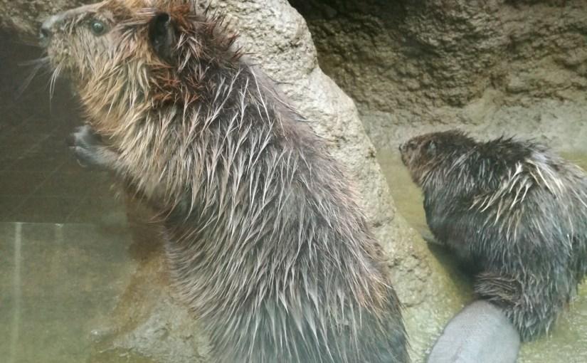 アメリカビーバー at 仙台うみの杜水族館