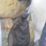 仙台うみの杜水族館、オウサマペンギンの赤ちゃん https://t.co/f70E9RjPEZ