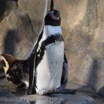 仙台うみの杜水族館、ペンギンさん https://t.co/0gMiZQnnh7