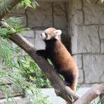 仙台市八木山動物公園、レッサーパンダの赤ちゃん(行列 https://t.co/31fMrLXegm