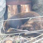 #アメリカビーバー #仙台うみの杜水族館 #nikonD5300 寝てる