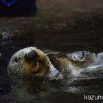#ラッコ #須磨海浜水族園 #nikonD5300