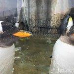 #ペンギン #仙台うみの杜水族館 #iPhone7Plus あー室内で良かったわみたいな