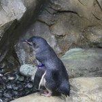 #フェアリーペンギン #鳴き声 #仙台うみの杜水族館 #iPhone7Plus
