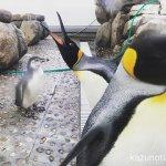 #ペンギン #仙台うみの杜水族館 見られてる