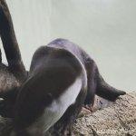 #ツメナシカワウソ #仙台うみの杜水族館 #iPhone7Plus 壊してた
