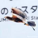 #ハリスホーク #STADIUMLIVETHEGROOVE #仙台うみの杜水族館 #nikonD5300