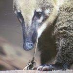 #アカハナグマ #仙台うみの杜水族館 #nikonD5300 ロープはすべての生き物にとっておもちゃ
