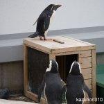 #ペンギン #仙台うみの杜水族館 #nikonD5300