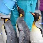 #オウサマペンギン #仙台うみの杜水族館 #nikonD5300