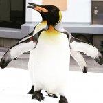 #オウサマペンギン #仙台うみの杜水族館 #nikonD5300 雪が溶ける