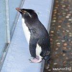 #イワトビペンギン #仙台うみの杜水族館 #nikonD5300