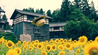 ほぼ見ごろになった金沢市平栗のひまわり畑!