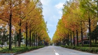 金沢市の大人気紅葉スポット☆太陽が丘ニュータウンのメタセコイア並木もだいぶ色づいてきました!