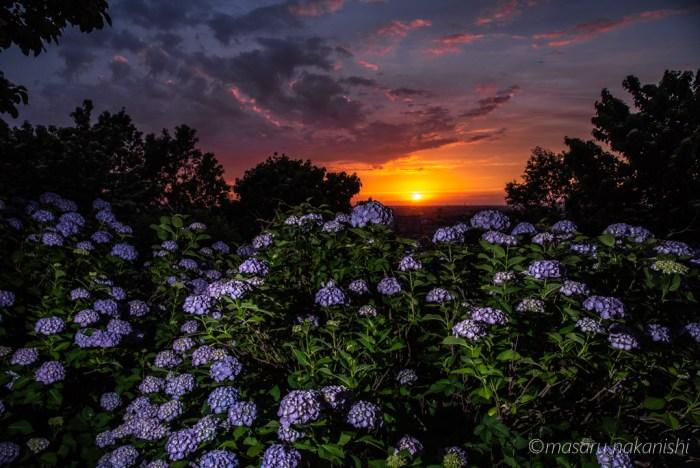 大乗寺丘陵公園の紫陽花と夕焼け