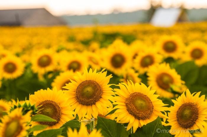 福井県三国のひまわり畑