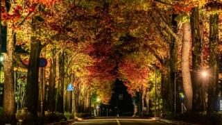 金沢市役所前通りの紅葉が見ごろ&ライトアップが始まりました。