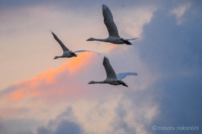 河北潟の白鳥