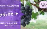 ブラックビート【種無しブドウ】 40