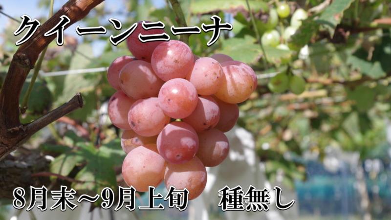 ブドウ クイーンニーナ 種無し