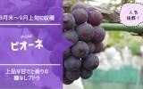 ピオーネ【種無しブドウ】 66