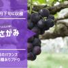 【種ありブドウ】原木さがみ 44