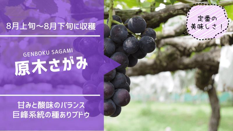 原木さがみ【種ありブドウ】 71