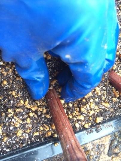 【ブドウの挿し木の方法を解説】使った道具と挿し木のポイント 67