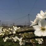 梨の花畑 14