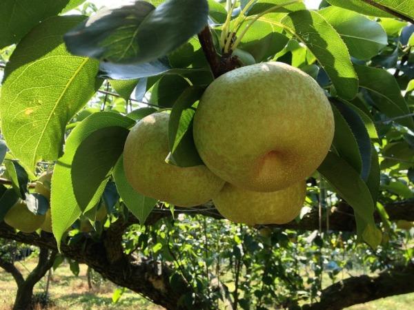 梨狩り申し込みの流れ 61