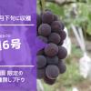 育種6号【種無しブドウ】 51