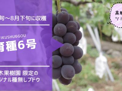 育種6号【種無しブドウ】 33