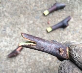 ブドウの接木の仕方 37
