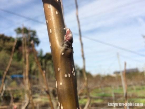 【梨の花芽と葉芽の見分け方】を画像で解説 13
