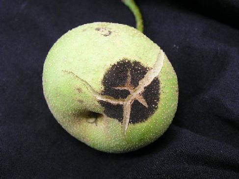 梨の病害虫【黒星病の対策】黒星病の発生を防ぐ方法を解説 49