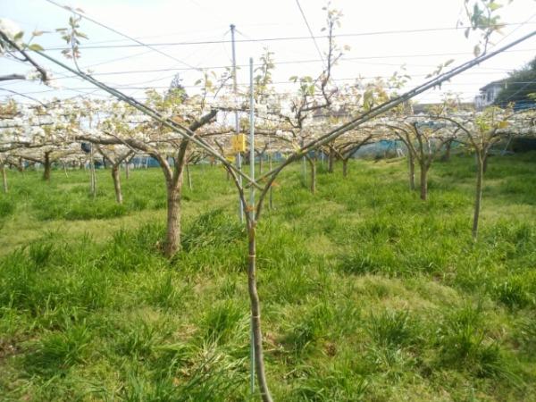 【若木の管理】梨の主枝を誘引するのに便利な道具を紹介 5