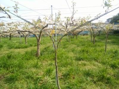 【若木の管理】梨の主枝を誘引するのに便利な道具を紹介 112