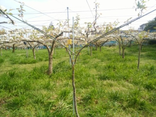 【若木の管理】梨の主枝を誘引するのに便利な道具を紹介 9