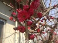 梅も七部咲きに 40