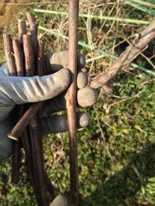 ブドウの挿し木 2