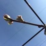 育種ブドウの萌芽。他より早いので対策。 35