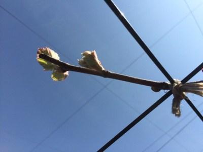 育種ブドウの萌芽。他より早いので対策。 147