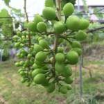 ブドウの二回目のジベ処理の時期 8