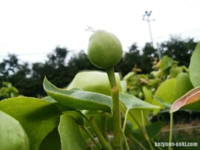 【梨の予備摘果】落とす果実と残す果実の見分け方 7